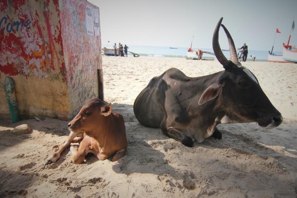 lehmät (2)